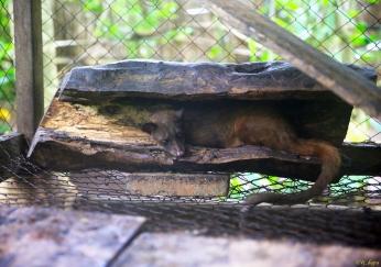 Asian Palm Civet