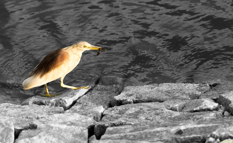 Fishing with Indian Pond Heron