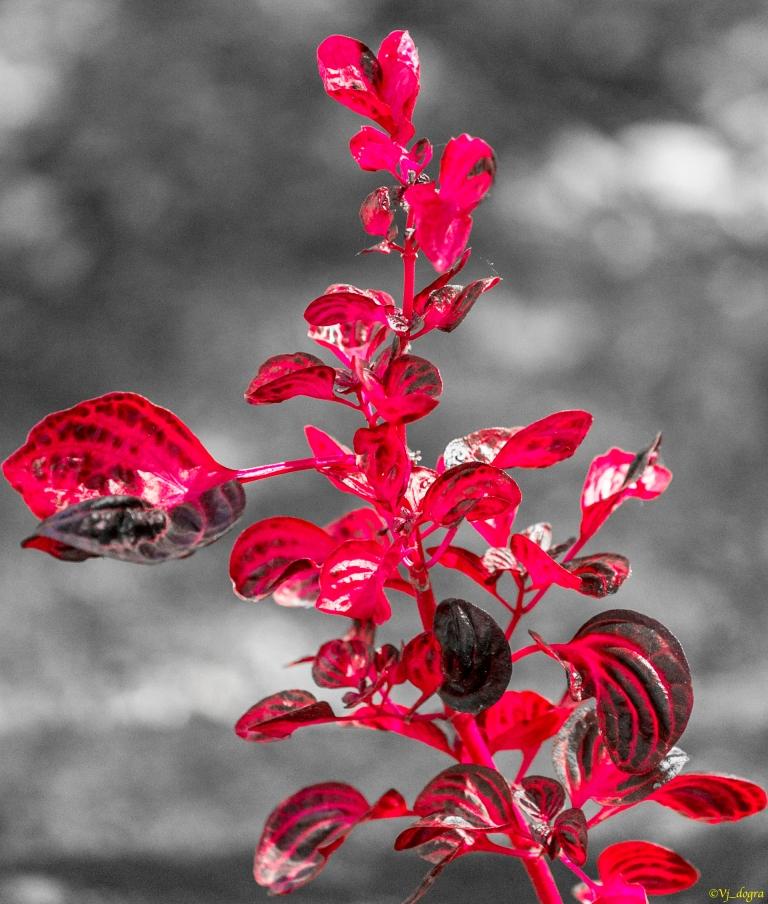 Dicolored Croton
