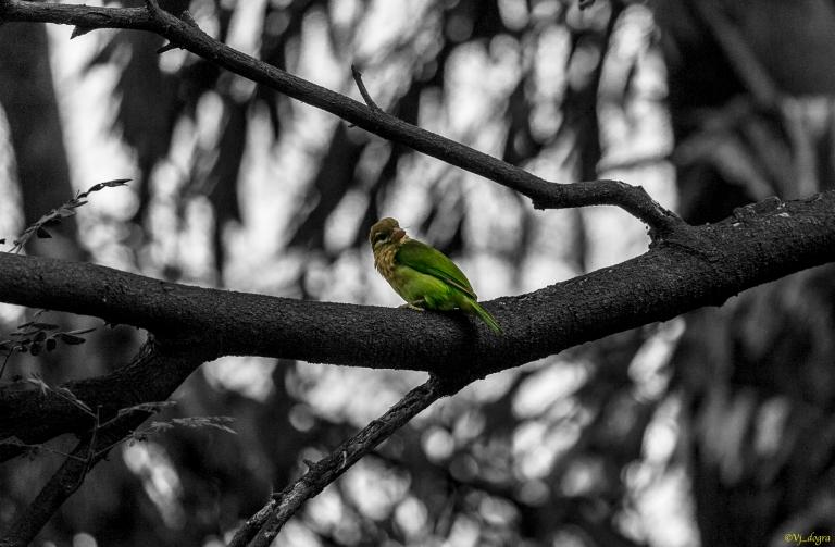Green barbet 2