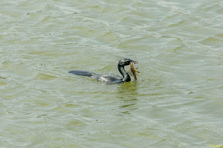Cormorant eating fish