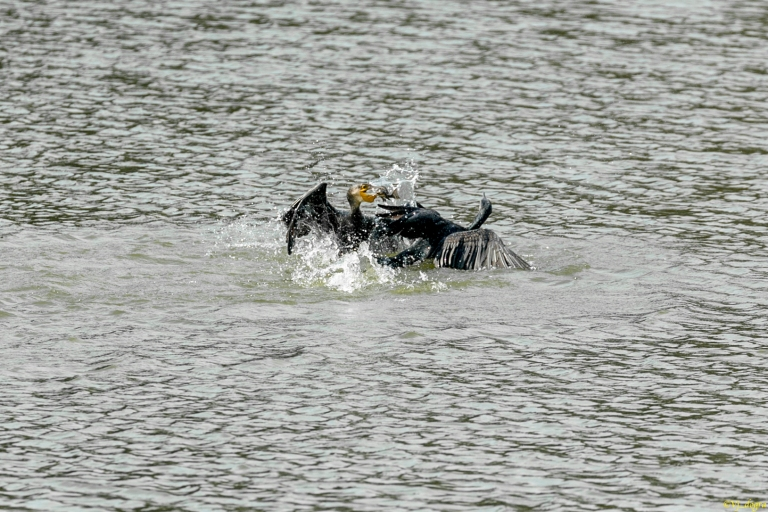 Cormorants fighting