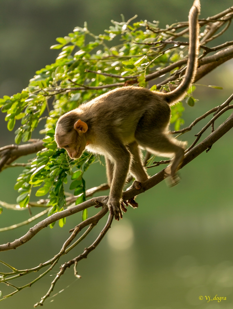 Monkey on branch 1