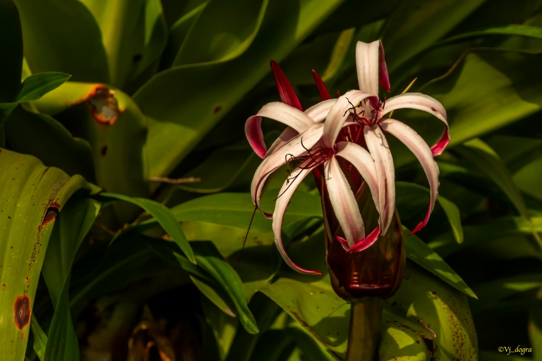 Giant Spider Lilly