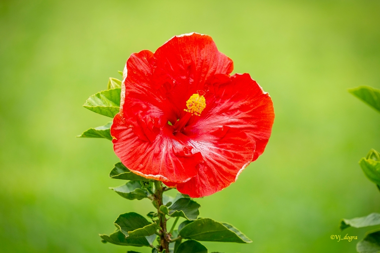 078a5875_red hibiscus